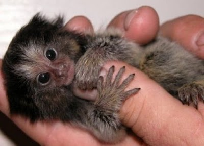 http://3.bp.blogspot.com/_mmBw3uzPnJI/TQjfUg0CdyI/AAAAAAAB0ok/gX163usqcxg/s1600/finger_monkeys_08.jpg