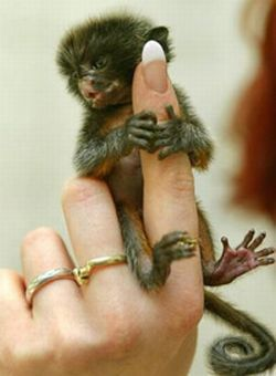 http://2.bp.blogspot.com/_mmBw3uzPnJI/TQjfTzIwTCI/AAAAAAAB0oc/G60QiKwz4RQ/s1600/finger_monkeys_09.jpg
