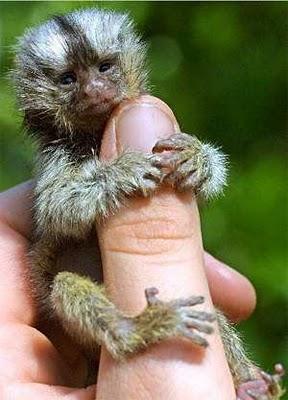 http://1.bp..blogspot.com/_mmBw3uzPnJI/TQjfTI9aIMI/AAAAAAAB0oU/qT_Ve-zM0cA/s1600/finger_monkeys_10.jpg