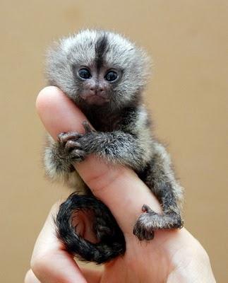 http://2.bp.blogspot.com/_mmBw3uzPnJI/TQje93Z0VXI/AAAAAAAB0ns/PmTMd0J8E98/s1600/finger_monkeys_15.jpg